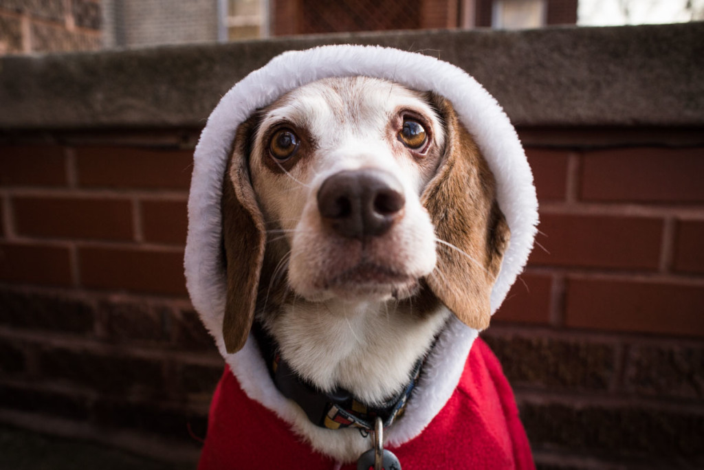 christmas-beagles-12-23-2014-03378
