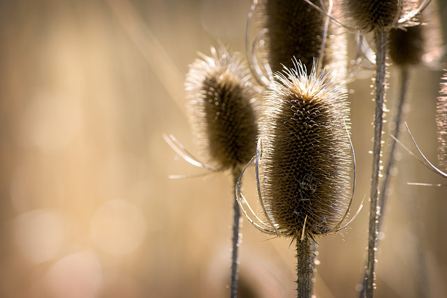 Teasel I by Alexander Day