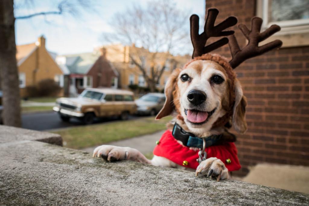 christmas-beagles-12-23-2014-03251